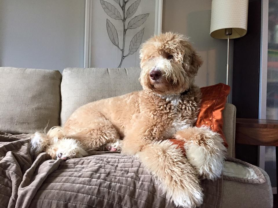 Australian Labradoodle Goldendoodle Breeder In Illinois At