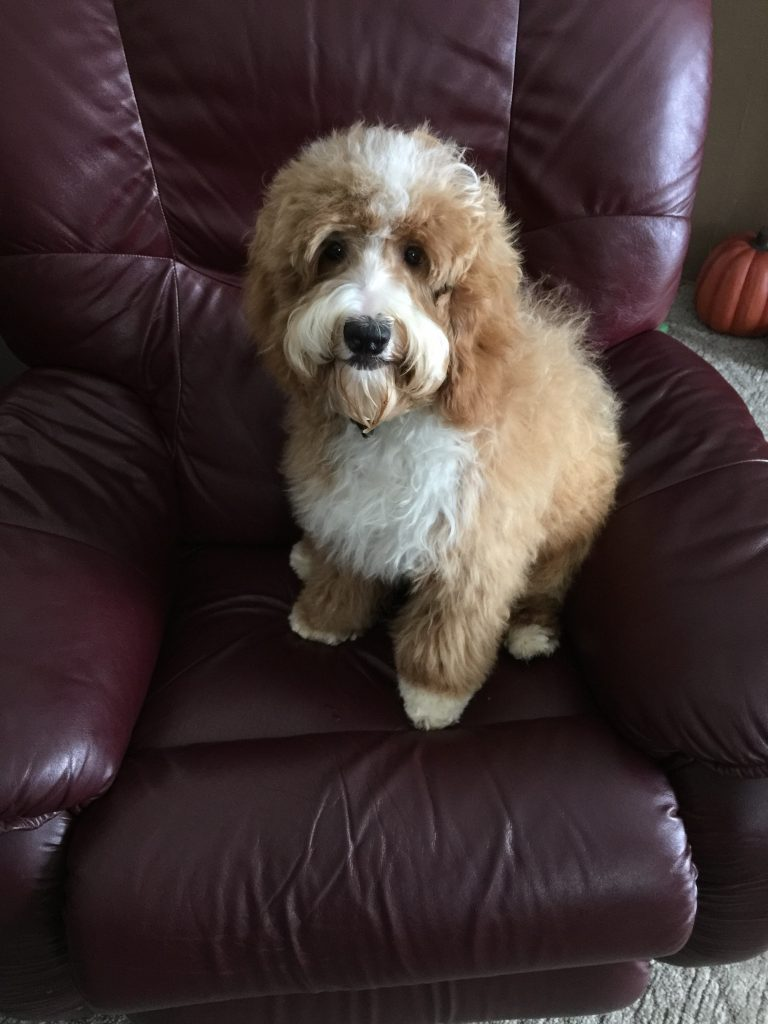 Goldendoodles for sale in Illinois