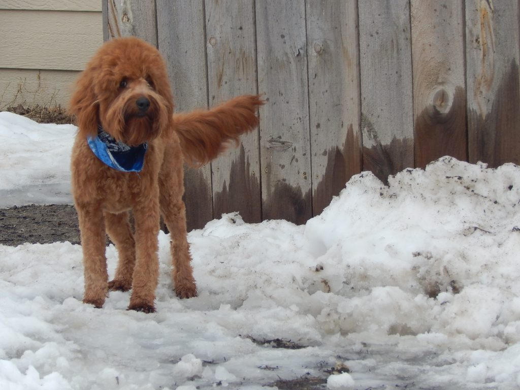 Australian Male Labradoodles for sale in Illinois