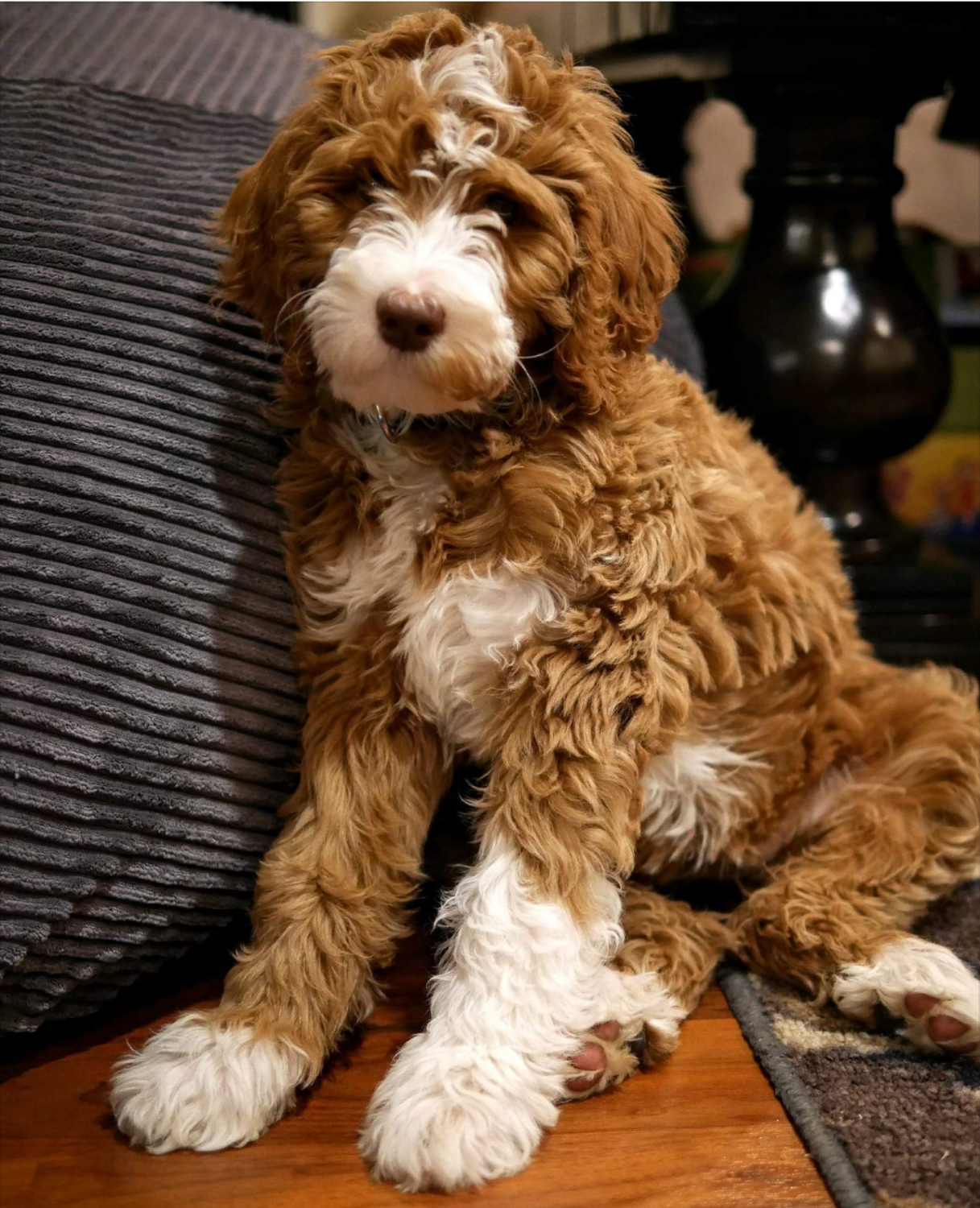 Australian Labradoodle And Goldendoodle Breeder - Illinois